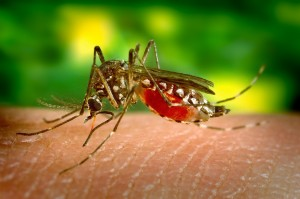 The Zika virus is know to be carried by a certain kind of mosquito commonly known as the Yellow Fever Mosquito