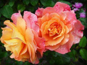 rose-174817_1280